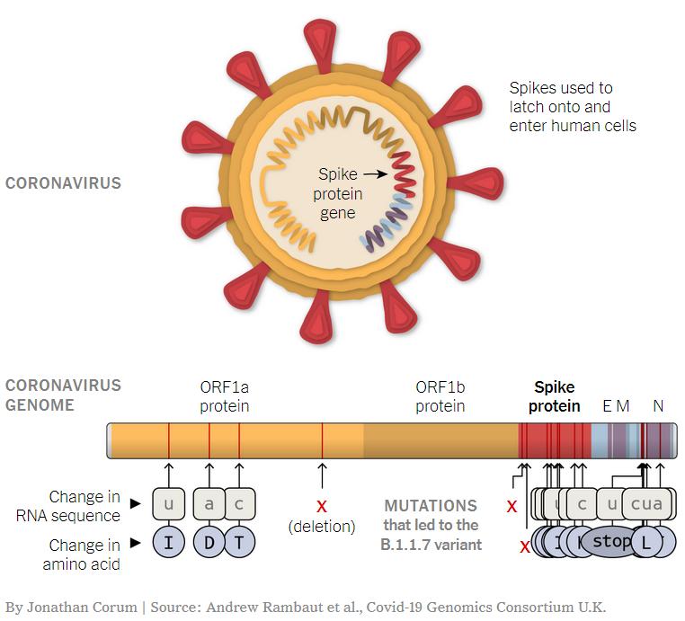 New SARS-CoV2 Mutations: Variant of Concern 202012/01 (Variant B.1.1.7) –  Ingenetix